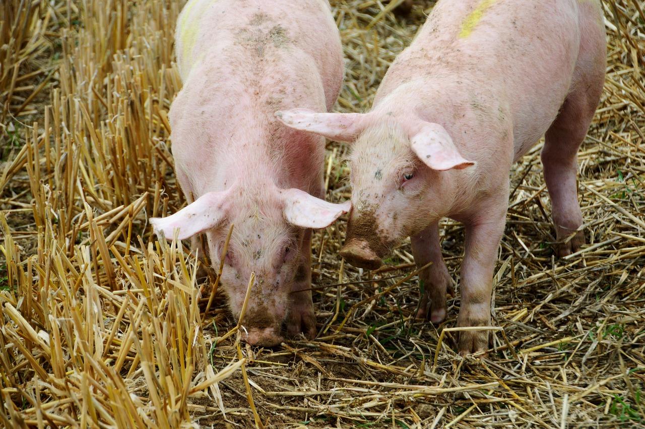 Co to są wysłodki buraczane i jakie korzyści dają hodowcom?